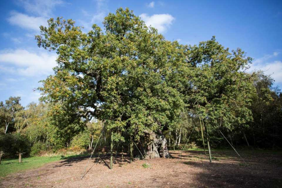 Major Oak Sherwood